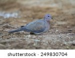Small photo of african lemon dove with shades of blue plumage color sitting on the dry grass