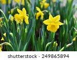 daffodil narcissus yellow...