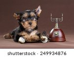 Yorkshire Terrier Puppy With...