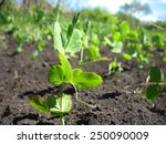 this is spring young sprout of... | Shutterstock . vector #250090009