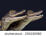 Small photo of American alligator / Alligator mississipiensis
