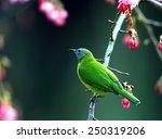 chloropsis hardwickii | Shutterstock . vector #250319206