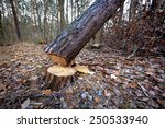 Cut Down Pine Tree In Forest