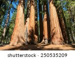 Giant sequoia trees in Sequoia National Park, California, USA - stock photo