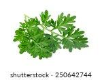Small photo of Wormwood (absinthium) Isolated on White Background