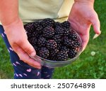 riped blackberries in the small ... | Shutterstock . vector #250764898