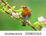 A Red Robin  Erithacus Rubecul...