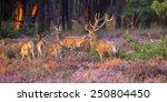 Male Red Deer  Cervus Elaphus ...