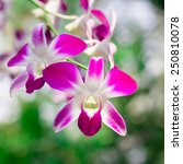photo of pink orchid flower in... | Shutterstock . vector #250810078