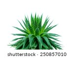 aloe plant on white background | Shutterstock . vector #250857010