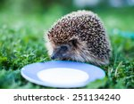 Hedgehog Drinking Milk From A...