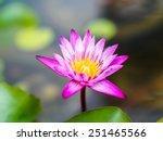 pink lotus flower beautiful...   Shutterstock . vector #251465566