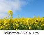 Field Mustard   Rape Blossoms