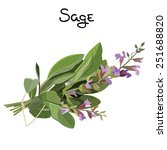 flowering fresh sage. sage herb.... | Shutterstock .eps vector #251688820