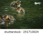 Tiny Mallard Duck   Anas...