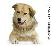 Anatolian Shepherd Dog In Fron...