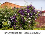 Clematis Flowering Climber...