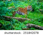 portrait of a tiger in the wild ... | Shutterstock . vector #251842078