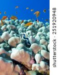 Small photo of coral reef with porites corals , blue clam and exotic fishes anthias