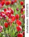 tulip in garden | Shutterstock . vector #252091273