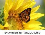 Monarch On A Sunflower Closeup