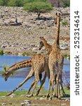 Постер, плакат: Giraffe African Wildlife