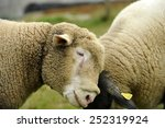hornless sheep looking at the... | Shutterstock . vector #252319924