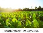 Small photo of tobacco field