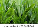 green banana leaf in nature ... | Shutterstock . vector #252478669