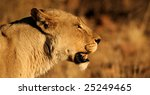 Lioness watching antelope grazing in the distance - stock photo
