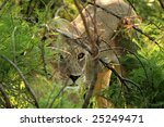 Lioness watching antelope from behind vegetation. - stock photo