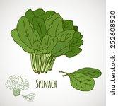 Spinach. Green Salad Leaf...