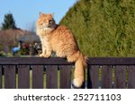 Ginger Cat On The Fence