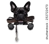 Stock photo french bulldog dog waiting to go for a walk with owner leather leash in mouth behind blank 252722473