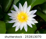 White Lotus Flower Topview