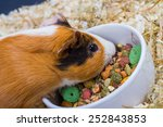 Guinea Pig Eating From A White...