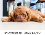 Dogue De Bordeaux   Bordeaux...