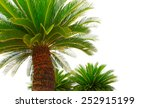 Green Leaves Of Cycad Plam Tree ...