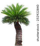 Close Up Cycad Palm Tree...