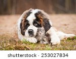 Stock photo saint bernard puppy with little kittens 253027834