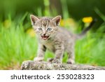 Stock photo little kitten meowing outdoors 253028323