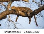 a leopard sleeping in a tree | Shutterstock . vector #253082239