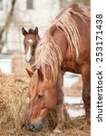 red mare with a foal walking in ... | Shutterstock . vector #253171438