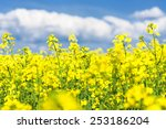Yellow Flower Field And Blue...