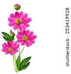 Stock photo peony flowers isolated on white background 253419928