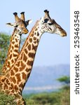 Two Giraffes Portrait