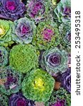 Ornamental Cabbages  Winter...