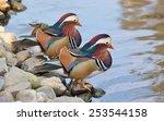 Two Male Mandarin Duck Near Th...