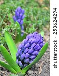 purple hyacinth | Shutterstock . vector #253624294