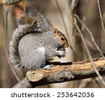 Eastern Gray Squirrel Feeding...